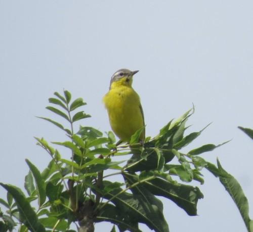 YellowWagtail002