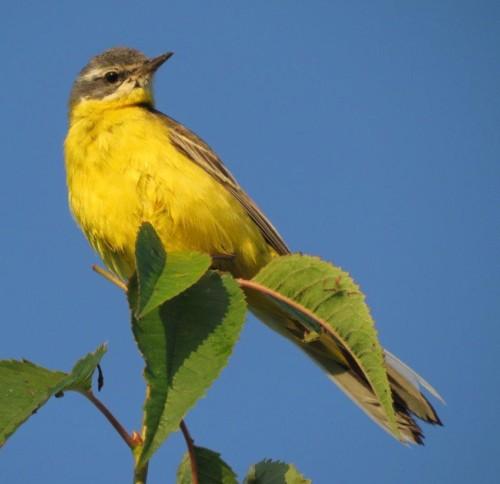 YellowWagtail010