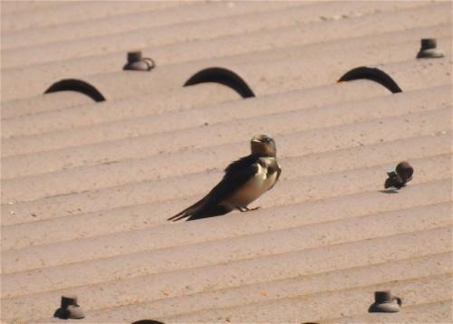 Barn swallow001