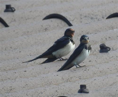 Barn swallow002