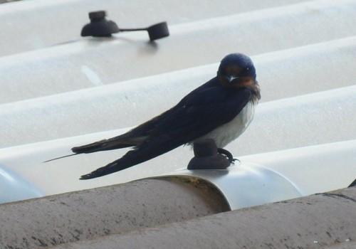 Barn swallow003