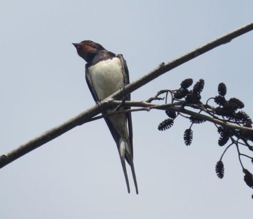 Barn swallow005