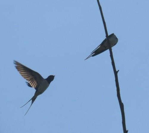 Barn swallow007