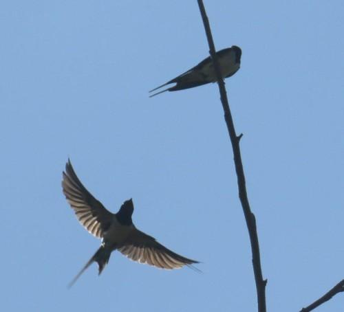Barn swallow008