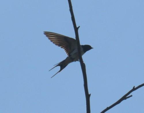 Barn swallow009