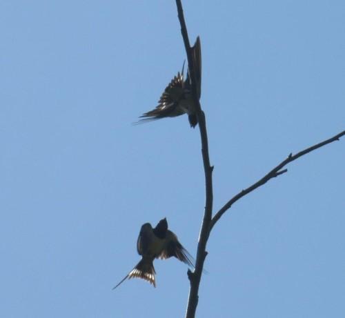 Barn swallow011