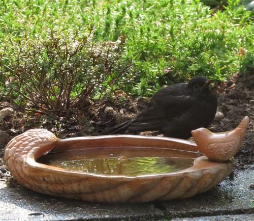 Blackbird004