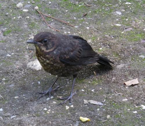 Blackbird005