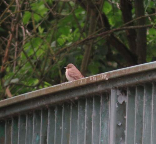 Brown-streaked flycatcher001