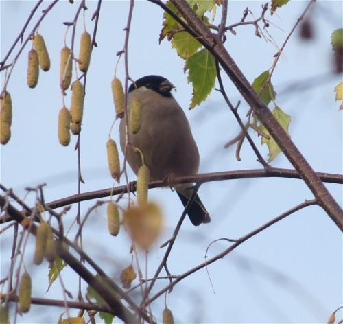 Bullfinch006
