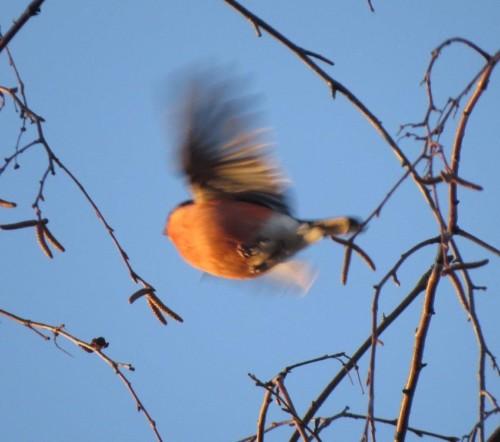 Bullfinch011
