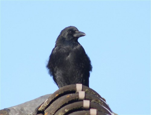 CarrionCrow005