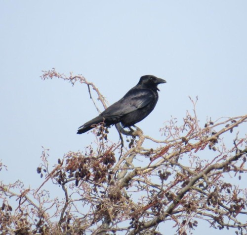 CarrionCrow006