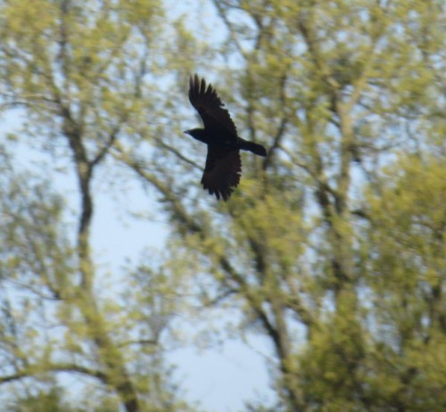 CarrionCrow007