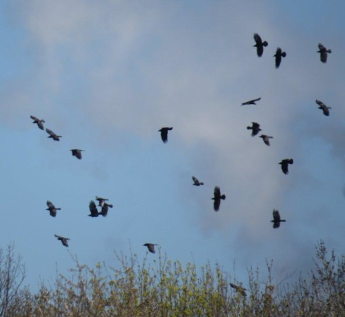 CarrionCrow008