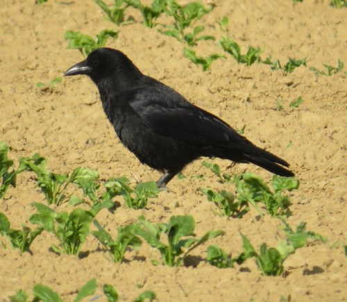 CarrionCrow010
