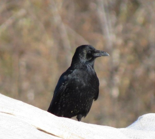 CarrionCrow012