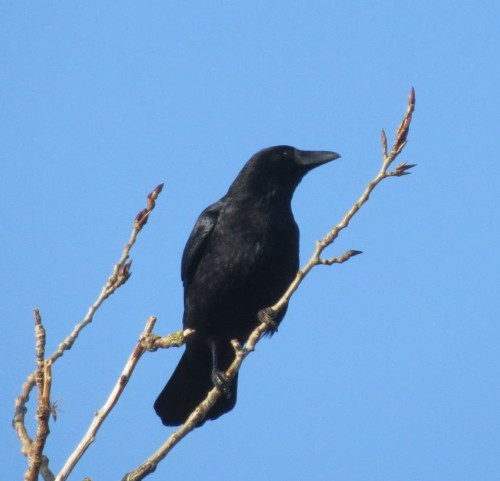 CarrionCrow013