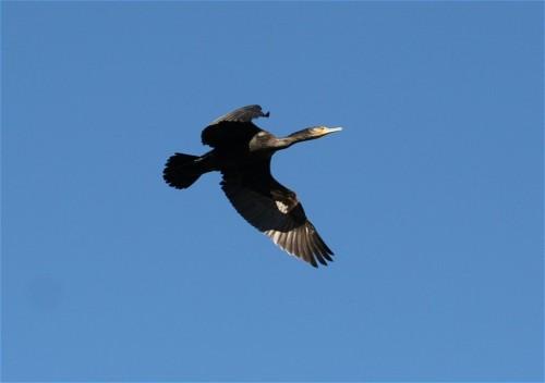 Cormorant001