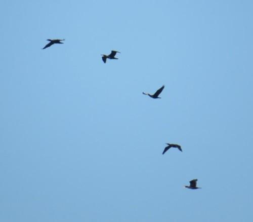 Cormorant010