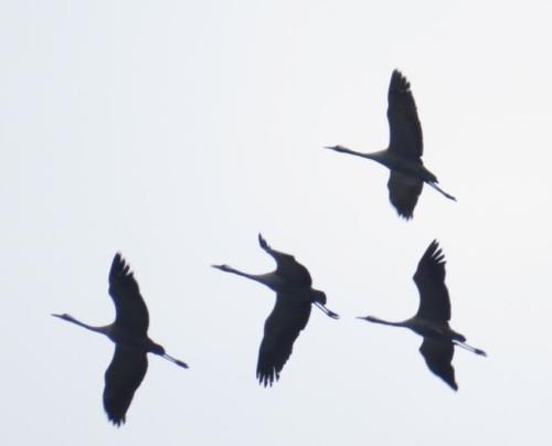 Crane023