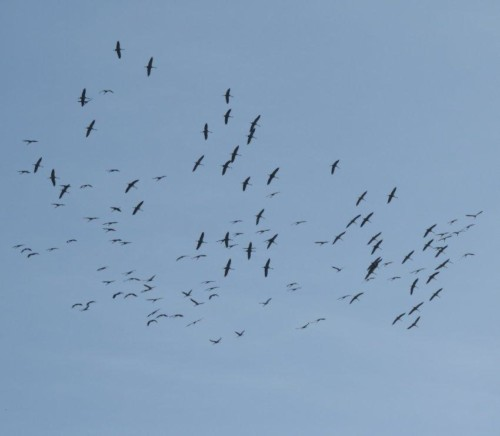 Crane029
