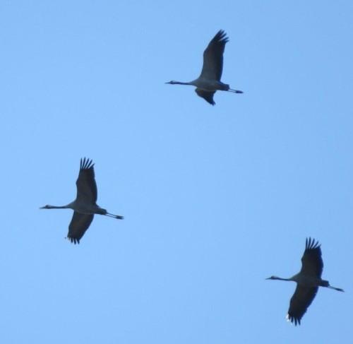 Crane033