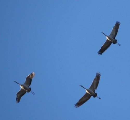 Crane034