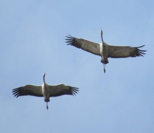 Crane037