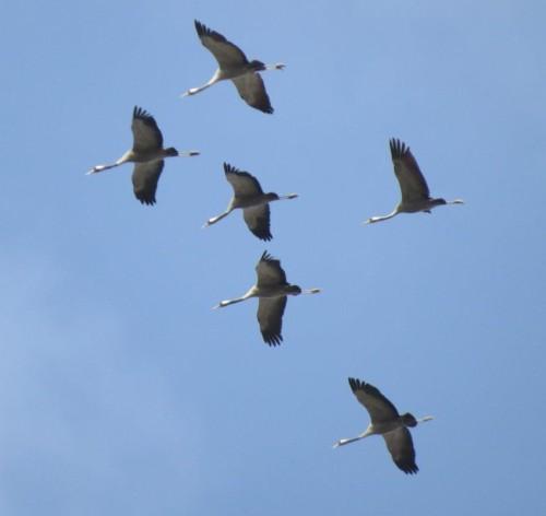 Crane039