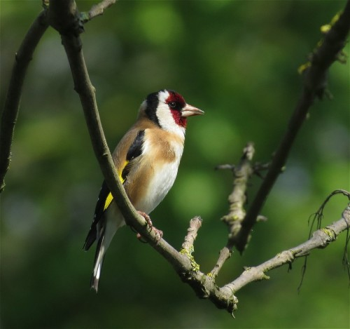 Goldfinch001