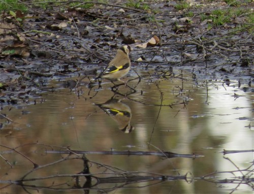 Goldfinch002
