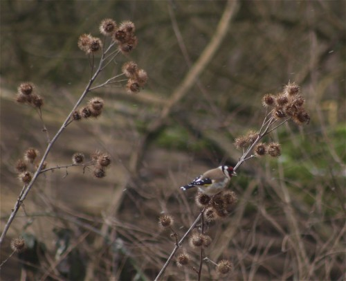 Goldfinch003