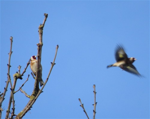 Goldfinch005