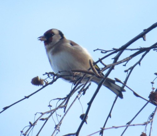 Goldfinch007