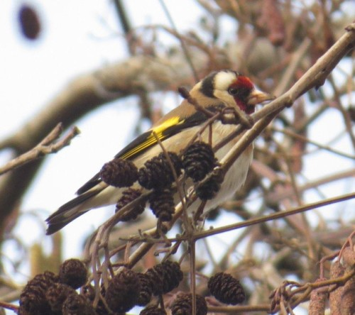 Goldfinch008
