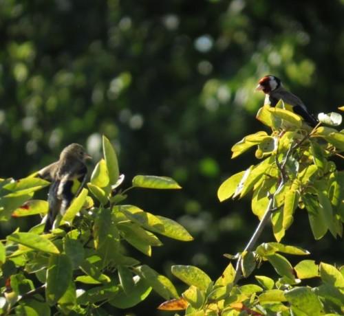 Goldfinch009