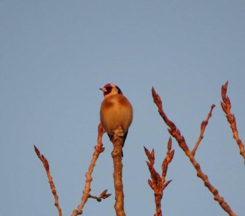 Goldfinch010