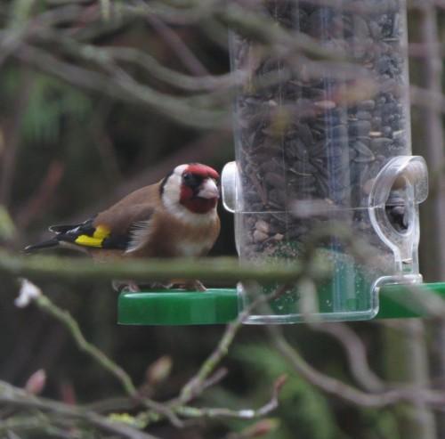 Goldfinch011