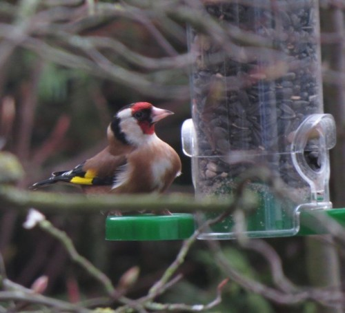 Goldfinch012