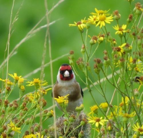 Goldfinch014