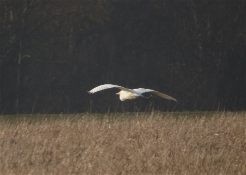 GreatEgret001