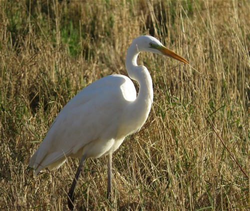 GreatEgret003