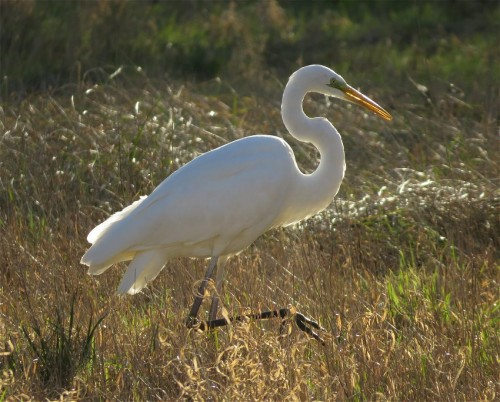 GreatEgret004