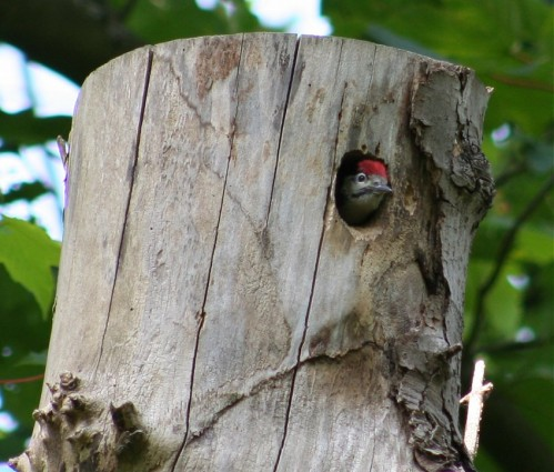 GreatWoodpecker004