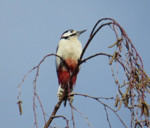GreatWoodpecker014