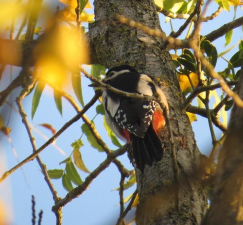 GreatWoodpecker016