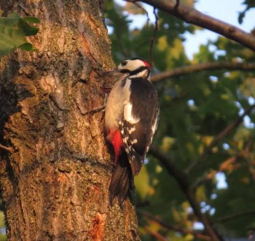 GreatWoodpecker017