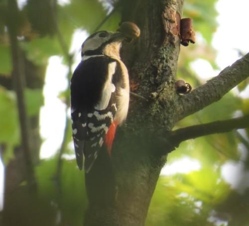 GreatWoodpecker019