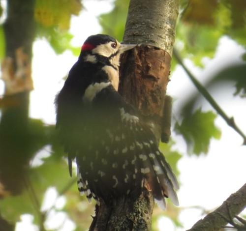 GreatWoodpecker20